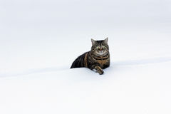 Little fat cats in deep snow Royalty Free Stock Photos