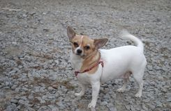 Little fat and funny dog. Chihuahua. Little fat and funny dog royalty free stock photos
