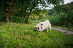 Little fat pug Royalty Free Stock Photography