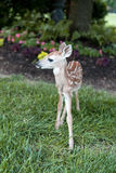 Little Fawn Stock Photo