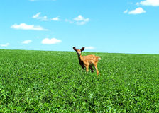 Little Fawn. A little fawn in a field Stock Photography