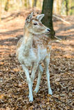 Little fawn in the forest Stock Image