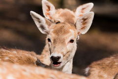 Little fawn in the forest Stock Images