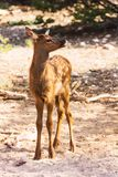 Little fawn at the Grand Canyon Royalty Free Stock Images