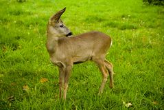 Little deer on a meadow with green grass royalty free stock photo