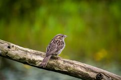 Little Female Sparrow on a wooden stump Stock Image