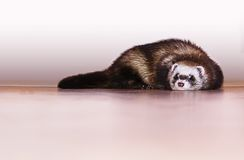 Little ferret. Cute little ferret laying on the floor Royalty Free Stock Image