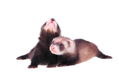 Little ferret babies Stock Photos