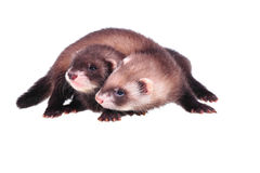 Little ferret babies Royalty Free Stock Photos