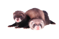 Little ferret babies Royalty Free Stock Image