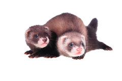 Little ferret babies Stock Photos