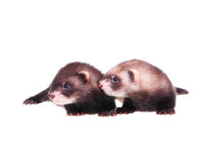 Little ferret babies Stock Photo
