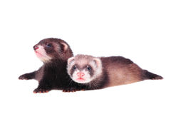 Little ferret babies Stock Image