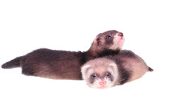 Little ferret babies Royalty Free Stock Photo