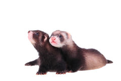 Little ferret babies Royalty Free Stock Photos