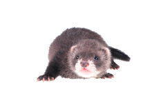 Little ferret baby. Isolated in white background Royalty Free Stock Image