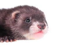 Little ferret baby. Portrait of a little ferret baby isolated in white background Royalty Free Stock Photos