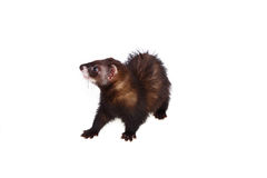 Little ferret Royalty Free Stock Images