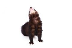 Little ferret Stock Image