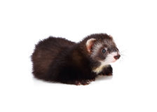 Little ferret Royalty Free Stock Photo