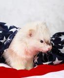 Little ferret on the USA flag background Stock Photo