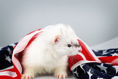 Little ferret on the USA flag background Royalty Free Stock Photos