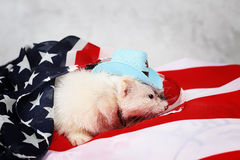 Little ferret on the USA flag background Stock Photos