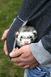 Little ferret in your pocket Stock Photography