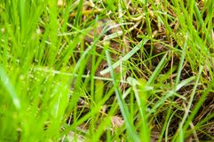 The little field mouse hid in bright green grass. Summer. The little field mouse hid in the bright green grass. Summer. On the green field stock photo