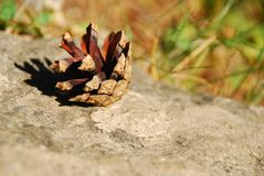 Little fir-cone. Royalty Free Stock Image