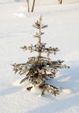 Little fir Royalty Free Stock Photography