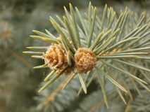 Little fir-tree cones. On completion of fir-tree branch Stock Photos