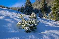 Little fir tree covered by fresh snow Stock Images