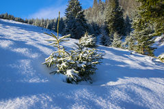 Little fir tree covered by fresh snow Royalty Free Stock Image