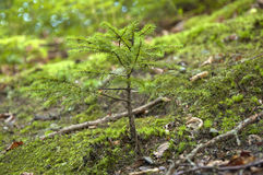 Little Fir. The little fir tree growing on the hill slope close up Stock Images