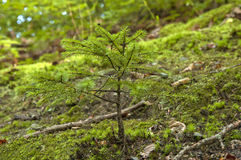 Little Fir. The little fir tree growing on the hill slope close up Royalty Free Stock Photo