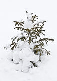 Little fir tree in snow Stock Image