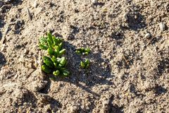 Little first green grass sprouts, spring nature. With copy space royalty free stock photo