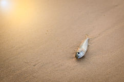 A little fish died on beach. A little white fish died on beach Stock Image