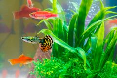 Little fish in fish tank or aquarium, gold fish, guppy and red f. Ish, fancy carp with green plant, underwater life concept royalty free stock photo