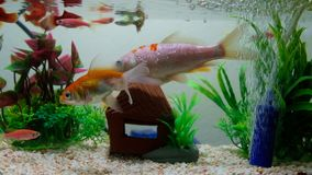 Little fish in fish tank or aquarium, gold fish, guppy and red fish, fancy carp with green plant, underwater life concept. 4K