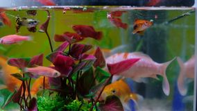 Little fish in fish tank or aquarium, gold fish, guppy and red fish, fancy carp with green plant, underwater life concept. 4K. Little fish in fish tank or stock footage
