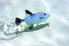 Little fish   isla contoy Stock Image