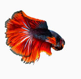 Little fish of siamese fighting fish royalty free stock photo
