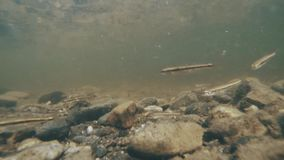 Little fish swim in a mountain river. A small fish swims plays eats shooting under water stock footage