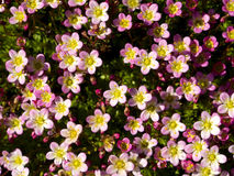 Spring. Summer. Little Five Petals Pink Flowers Stock Photography