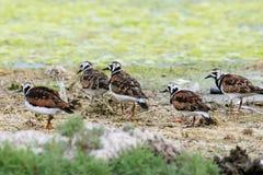 Little flock of rudy turnstone Stock Photography