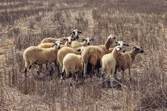 Little Flock of sheep at Cos, Greece stock images