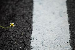 A little flower on the asphalt floor. Little flower, incomplete condition. it grows and fight the roadside on asphalt floor, selective focus Royalty Free Stock Images