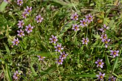 Blue-eyed grass. Little flower that clumps of `blue-eyed grass stock photography